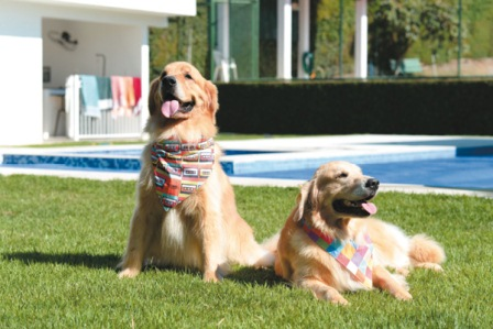 O casal de golden retriever Johnnie e Aya (Raimundo Sampaio/Encontro/D.A Press)